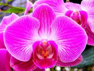 Bunga Anggrek