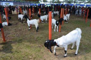 cara merawat kambing