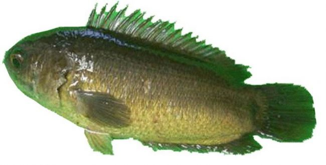 Peluang Budidaya Ikan Papuyu, Prestise Masyarakat Kalimantan
